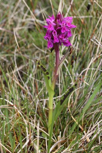 Lapland Marsh Orchid