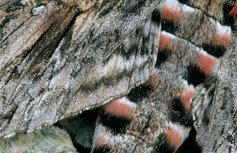 Velvet Moth