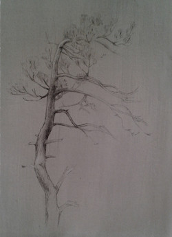 Pine tree study, New Hampshire