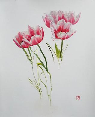 Bicolored Tulips