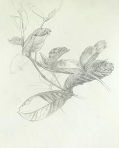 Mandavilla Leaves.jpg