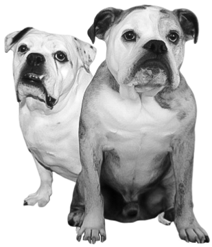 Bosco and Sugar, the Borack Law Group's resident dogs