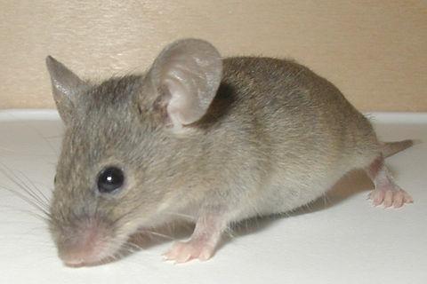 Mouse-19-Dec-2004.jpg