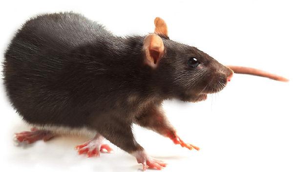 rat-noir.jpg