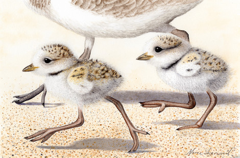 Snowy plover dad and chicks