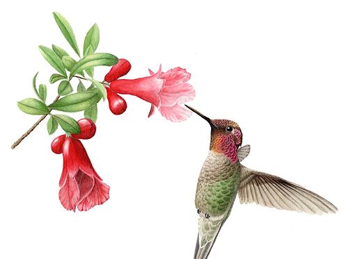 Anna's Hummingbird Cup