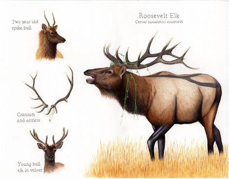Roosevelt elk and antler development