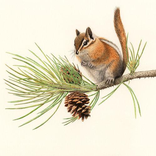 Yellow-pine Chipmunk on Ponderosa Pine