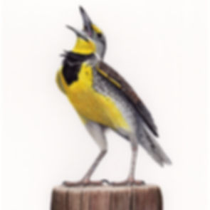 square cropped Western meadowlark 300 dp