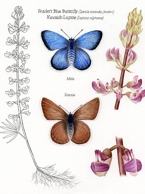 Fender's Blue Butterfly and Kincaid's Lupine