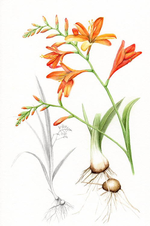 Crocosmia and corms