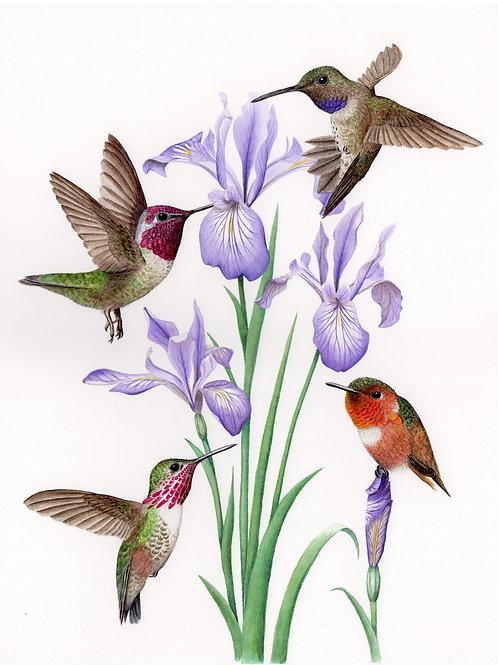 Four Hummingbirds with Oregon Iris Blooms