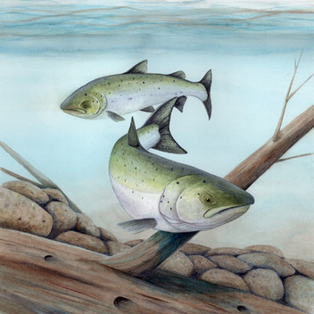 Chinook salmon in the Nestucca River