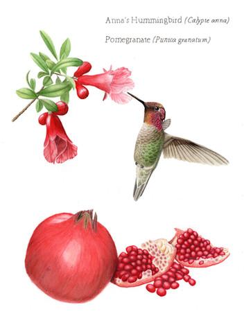 Anna's hummingbird with pomegranate