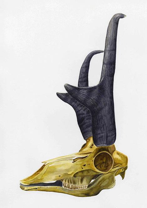 Pronghorn skull
