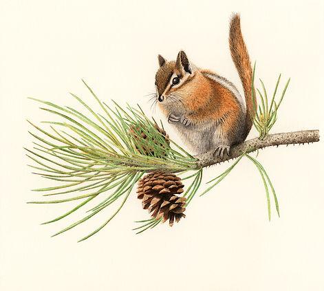 ZenTwig chipmunk and ponderosa pine-72 d