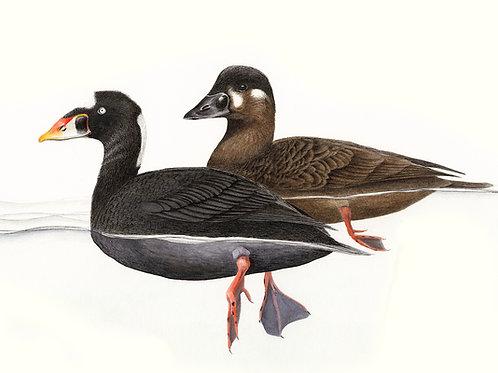 5-card set - Ducks!