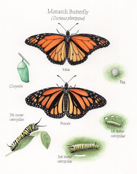 Monarchs science illustration 300 dpi jp