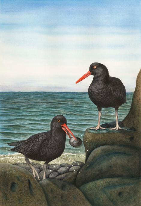 Black oystercatcher.jpg