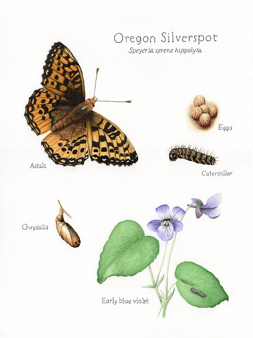 Oregon Silverspot butterfly lifecycle plate