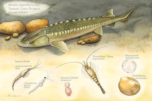 Benthic Macrofauna and Predator, Green Sturgeon (Acipenser medirostris)