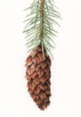 Spruce cone 300 dpi jpg.jpg