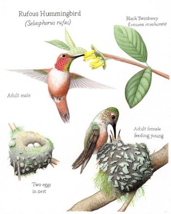 Rufous hummingbird plate