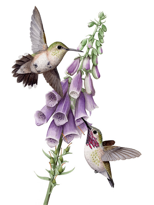 Male and female calliope hummingbirds with foxglove