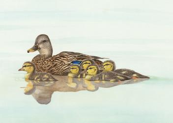 Female mallard duck and chicks