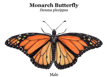 Just male monarch.jpg