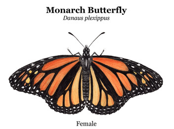 Just female monarch.jpg