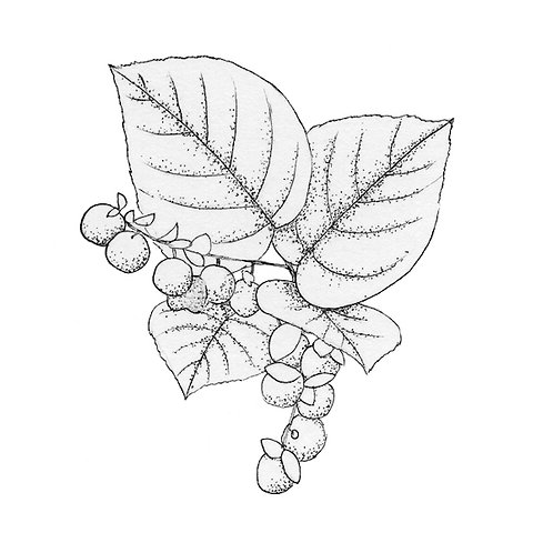 Introduction to Botanical Art: Drawing botanical shapes