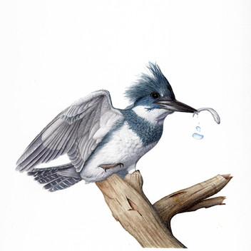 Belted kingfisher with catch