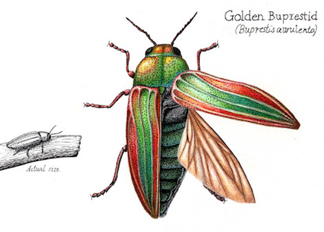 Golden buprestid