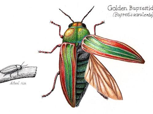 Golden Buprestid (Buprestis aurulenta)