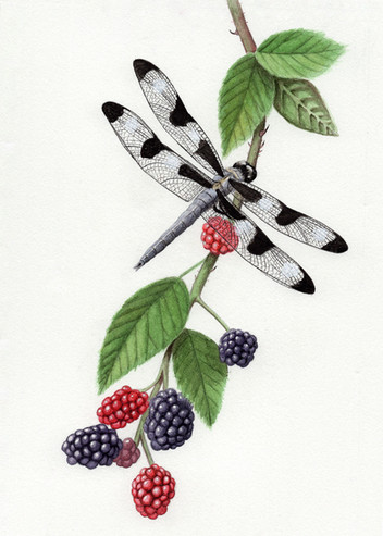 12-spotted skimmer dragonfly