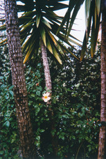 Palma e Rosa del nostro giardino