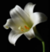 Beautiful white lily flower