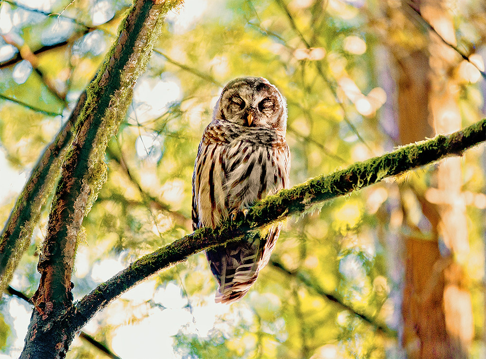 Burning away the night and the night's hunting, the early morning sun lulls a Barred Owl toward a state of restful repose.  Aware of my presence, the owl considered me and closing it's night vision eyes drifted into whatever must be sleep for these nocturne phantoms.  Watching, I wonder, what do owls dream?
