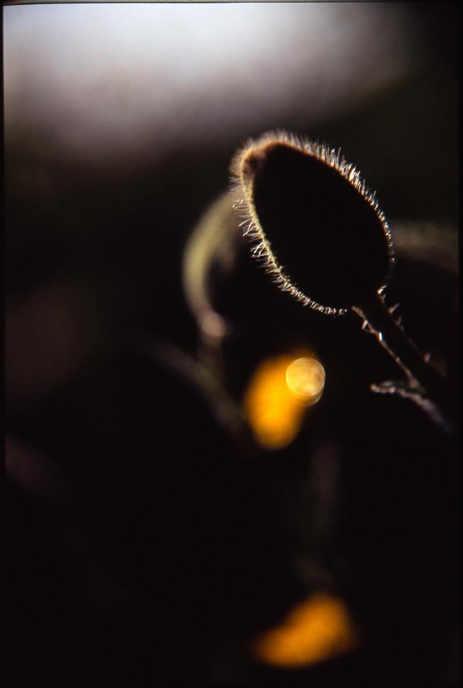 Poppy Head Silhouette