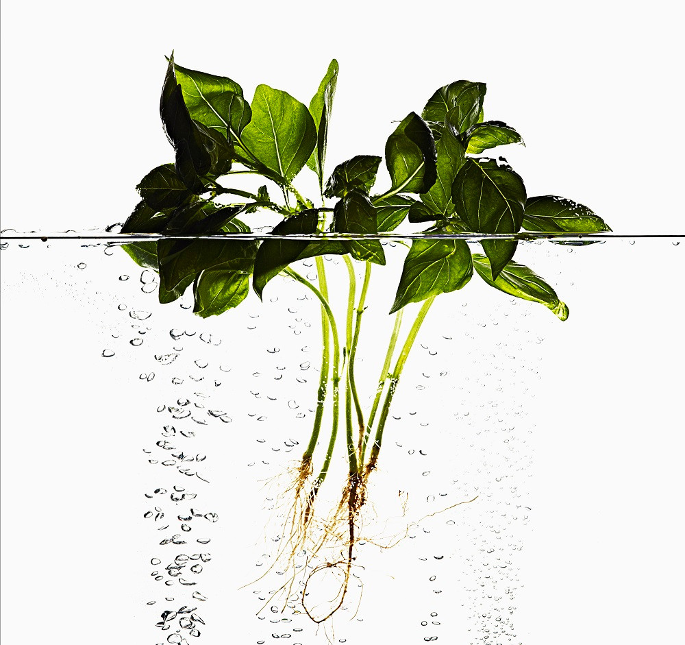 Basil  - This is one of a collection of Images I shot for my personal portfolio of Herbs, fruit and flowers submerged in water inspired by a campaign I had shot for water proof make-up. Using a specially built water tank with aerated pipes blowing bubbles from the base