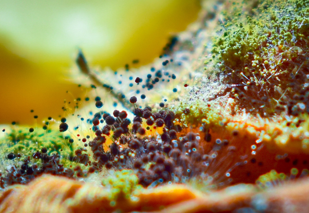 Like oceans depth - Nikon D3300, Nikkor 50mm 1.8f lens  After a few trials, i noticed that my spoiled, by a fungus, vegetable looked exactly like the bottom of the sea in a micro shot. The occasion was the theme 'decay' in the Flickr's group macroMondays in which every Monday I try to participate and take impressive photos.
