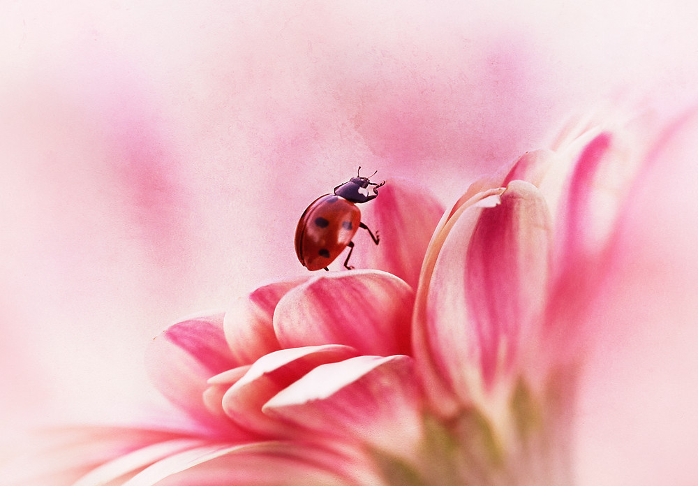 I love taking ladybird photos, in photoshop i added a few filters.