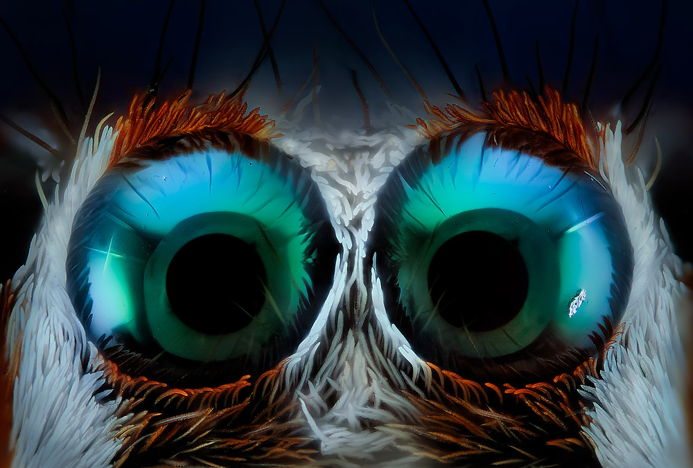 Jumping spider eyes 14x: The spiders have eight eyes. The two front ones being the largest. These two eyes are the ones shown here at a magnification of 14x. Their eyes do not have pupils, but the objective used when taking the photograph is reflected in it, giving the sensation of being pupils that are looking at the observer.