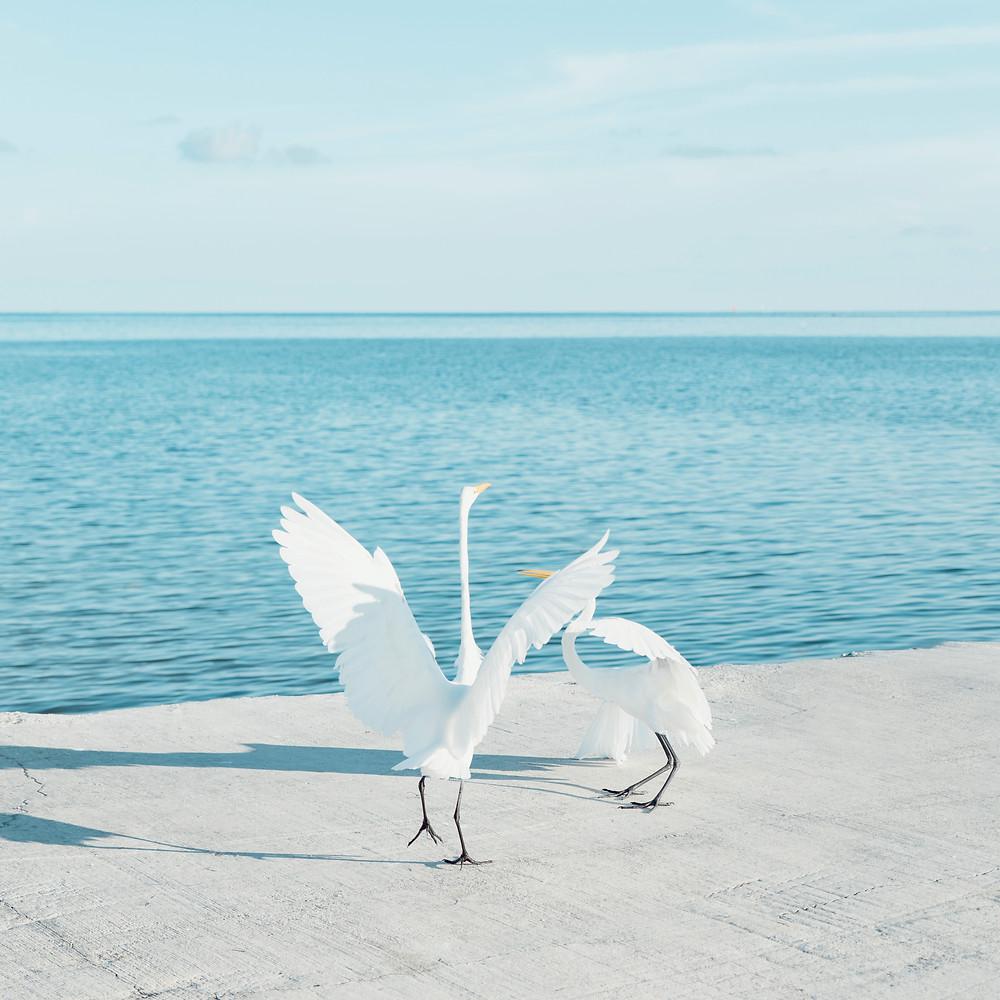 Two egrets fighting in Islamorada, Florida.