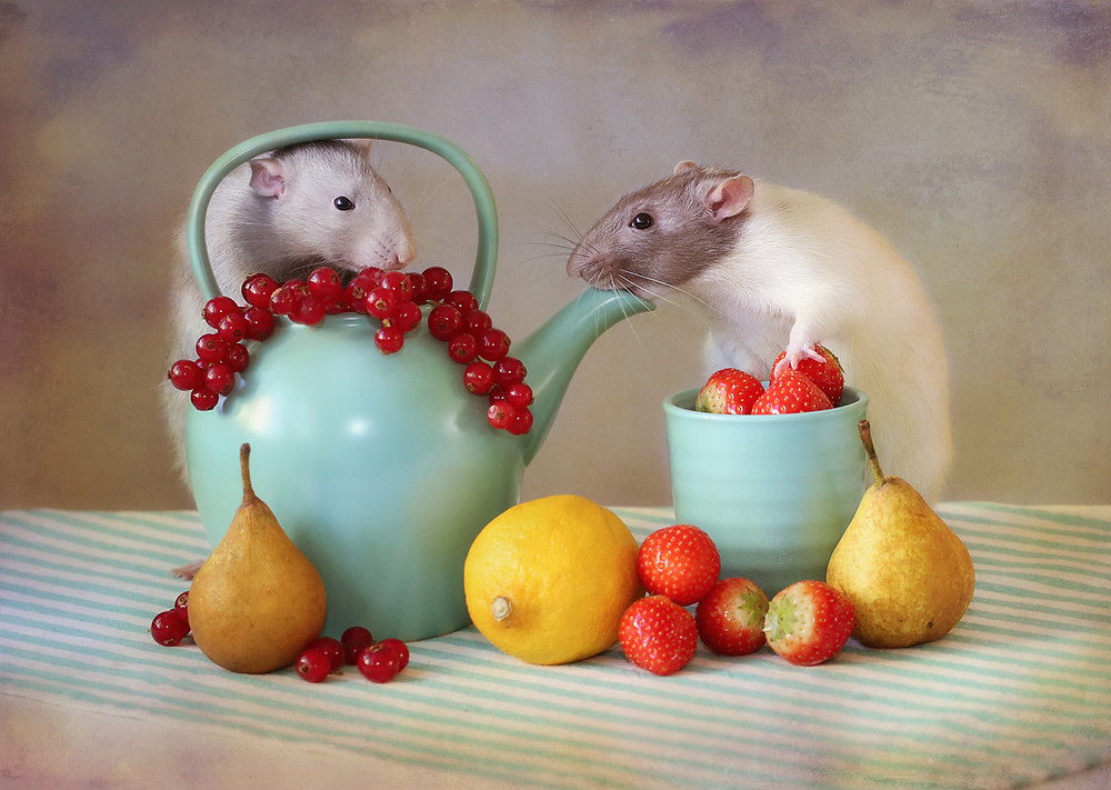 They were my pet-rats, and very clever. They love food, so i decided to photograph them in a still life with food.