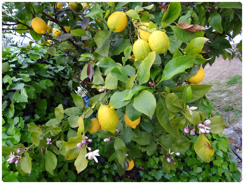 Citron de Menton 2