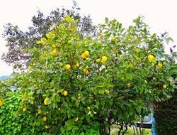 Véritable citronnier de Menton
