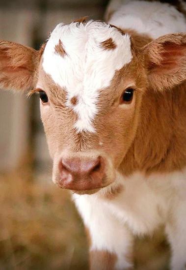 calf.png