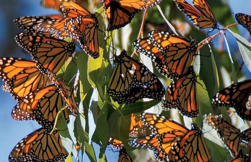 monarchs.jpg
